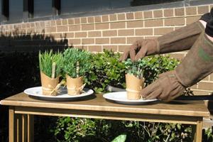 Hands in gardening gloves tending herbs in containers