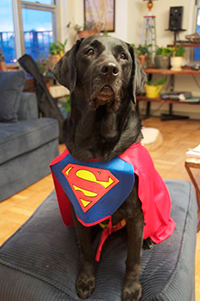 an adorable black lab dressed as Superdog, complete with cape and S breastplate