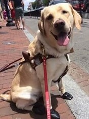 Guide dog Zoe sitting down on the sidewalk with boots on to protect her feet