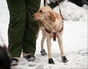 Guide dog in the snow standing with handler