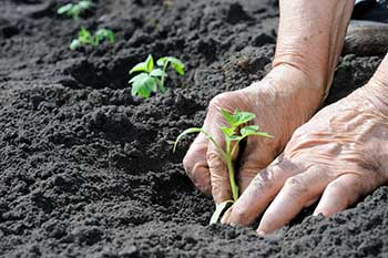 A close up of two hands planting a small tomato plan in dark soil