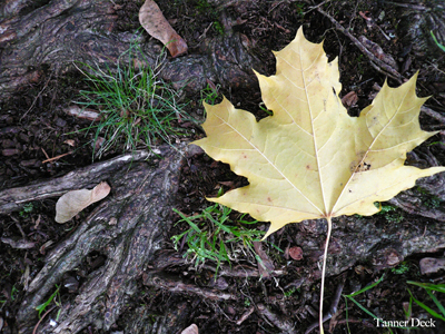 yellow maple leaf against dark tree roots