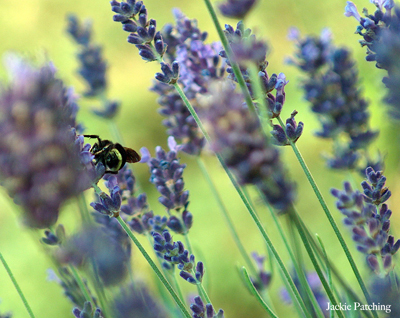bumblebee on lavender blossoms