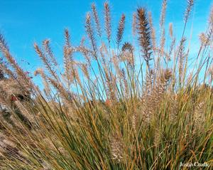 wheat stalks against a brilliant blue sky